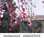 flower of japanese weeping...   Shutterstock . vector #1046225419