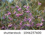 dainty mauve blooms of... | Shutterstock . vector #1046257600