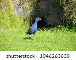 a brilliantly feathered  purple ...   Shutterstock . vector #1046263630