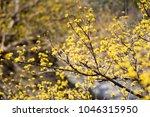 cornus mas fruit tree in bloom  ... | Shutterstock . vector #1046315950