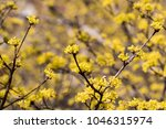 cornus mas fruit tree in bloom  ... | Shutterstock . vector #1046315974