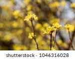 cornus mas fruit tree in bloom  ... | Shutterstock . vector #1046316028