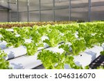 fresh green hydroponic lectuce...   Shutterstock . vector #1046316070