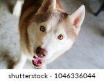 siberian husky smiling. dog... | Shutterstock . vector #1046336044