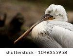 portrait of dalmatian pelican ... | Shutterstock . vector #1046355958