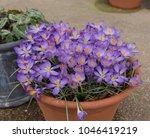 group of crocus 'barr's purple' ...   Shutterstock . vector #1046419219