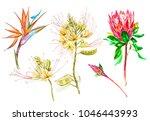 watercolor protea  caesalpinia... | Shutterstock . vector #1046443993