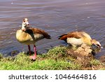 Wild Egyptian Ducks Swimming I...