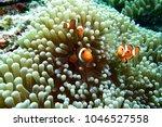 ocellaris clownfish  clown... | Shutterstock . vector #1046527558