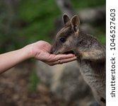 Australian Rock Wallaby Being...
