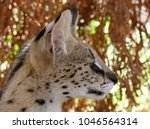 Profile Of A Male Serval