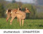 doe  deer grazing on meadow.... | Shutterstock . vector #1046695534