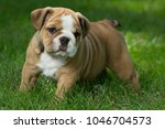 Stock photo cute brown black and white english bulldog puppies 1046704573