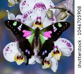 Small photo of Butterfly Papilio Graphium weiskei on white orchid flowers with blurred blue background