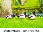 Three Ducks On Green Grass