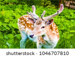 Spotted deer with velvet...