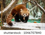 Red Panda Standing On A Snow...