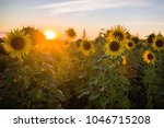 field with sunflowers in sunset ... | Shutterstock . vector #1046715208