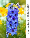 Blue Colored Delphinium Flower...