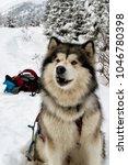 Small photo of Alaskan Malamute on Snow