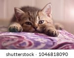 Stock photo a scottish kitten lies on a pillow the kitten looks into the camera 1046818090
