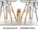 Stock photo a red cat runs between the legs of the chair white chair with wooden legs 1046841463