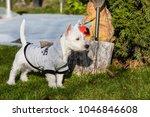 purebred adult west highland... | Shutterstock . vector #1046846608
