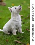 purebred adult west highland... | Shutterstock . vector #1046847244