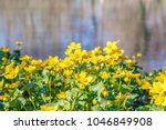 blooming caltha palustris ... | Shutterstock . vector #1046849908