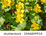 blooming caltha palustris ... | Shutterstock . vector #1046849914