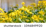 blooming caltha palustris ... | Shutterstock . vector #1046849920