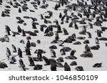 penguins at boulders beach | Shutterstock . vector #1046850109