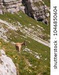 Small photo of Alpine ibex in Slovenian Alps