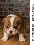 Small photo of cute, adorable English Bulldogs