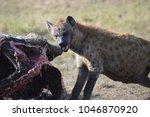 hyena feeding off carcass | Shutterstock . vector #1046870920