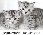 Stock photo two cute kitten kittens are beautiful striped 1046893810