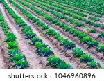 growing plants of cabbage in a... | Shutterstock . vector #1046960896