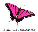 Small photo of Two-tailed swallowtail butterfly, Papilio multicaudata, isolated on white background. The largest of the US tiger sawllowtails, this one has even three tails on each wing. Color change to magenta