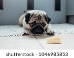 Small photo of Pug dog waiting for a permission to eat cheese on the kitchen.
