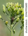 Small photo of Delia radicum, known variously as the cabbage fly, cabbage root fly, root fly or turnip fly, is a important pest of oilseed rape (canola) plants and others.