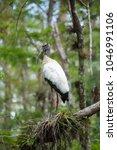 Wood Stork In Everglades