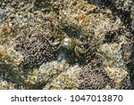 A Crab Runner In The Waters Of...