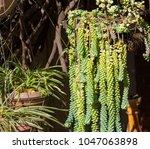 dainty sedum morganianum ... | Shutterstock . vector #1047063898