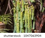 dainty sedum morganianum ... | Shutterstock . vector #1047063904