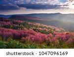 Wild Himalayan Cherry  Plants...