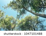 coniferous forest in the... | Shutterstock . vector #1047101488