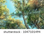 coniferous forest in the... | Shutterstock . vector #1047101494