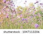 Verbena Flower Blooming On...