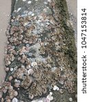 Small photo of Soft focus Acorn Barnacle Oceana