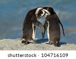 Pair Of African Penguins ...